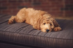 apricot goldendoodle puppy lounges in the back patio